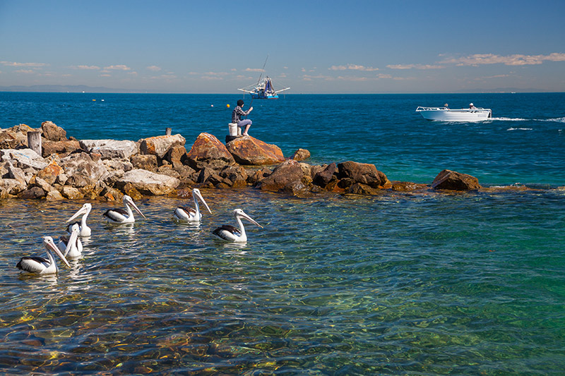 Pelicans at Amity